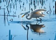 Heron Posters - White Egret At Horicon Marsh Wisconsin Poster by Steve Gadomski