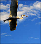 Pictures Photo Originals - White Egret Full Flight by John Wright