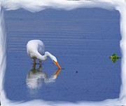White Egret Hunting For A Fish Print by John  Kolenberg