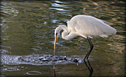 Pictures Photo Originals - White Egret Stirring the Water by John Wright