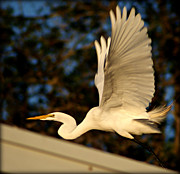 Snowy Egret Originals - White Egret Taking Flight by John Wright