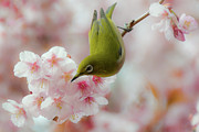 Japanese Culture Framed Prints - White-eye And Cherry Blossoms Framed Print by I love Photo and Apple.
