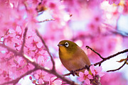 Pink Flower Branch Art - White Eye Bird by masahiro Makino