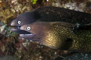 Eels Framed Prints - White-eyed Moray Eels Framed Print by Matthew Oldfield