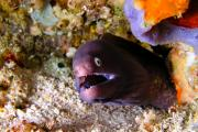 Asien Prints - White-eyed Moray Print by Joerg Lingnau