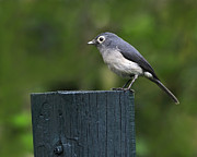 Flycatcher Posters - White-eyed Slaty Flycatcher Poster by Tony Beck