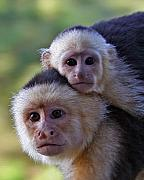 Monkey Posters - White-faced Capuchin Monkey Mother And Baby Poster by Larry Linton