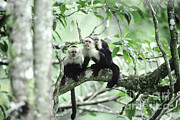 Fauna Posters - White-faced Capuchins Poster by Gregory G. Dimijian, M.D.