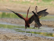 Marshland Framed Prints - White Faced Ibis Fight Mid-Air Framed Print by Robert Frederick