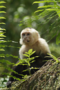 Woodnymph Framed Prints - White-faced Monkey Framed Print by Juan Carlos Vindas