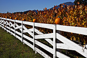 Vineyard Photos - White fence with pumpkins by Garry Gay