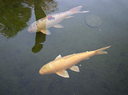 White Fish Yellow Fish Print by Val Oconnor
