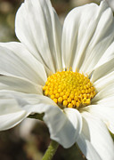 Natural White For Decorating Prints - White Flower Print by Carol Groenen