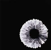 Studio Lighting Prints - White Flower Print by Graeme Harris