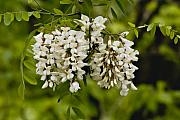 White Flowering Locust Tree Print by Warren M Gray