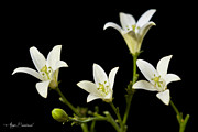 Ajay Bundiwal - White Flowers 1