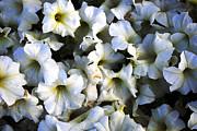 White Flowers At Dusk Print by Sumit Mehndiratta