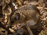 White Mouse Prints - White-footed Mouse Print by  Onyonet Photo Studios