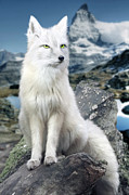 Fox Digital Art Prints - White Fox at Matterhorn Print by Julie L Hoddinott