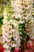 Foxglove Flowers Framed Prints - White Fox Gloves Framed Print by Dean  Triolo