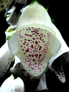 Foxglove Photos - White Foxglove by Roberto Alamino