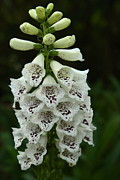 Foxglove Flowers Photos - White Foxglove Tower by Amanda Jorjorian