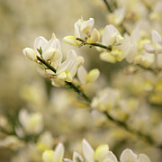 Close Focus Nature Scene Photo Posters - White Fragrant Flower Close Up Poster by by Samia Mohammed
