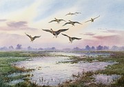 Marshland Framed Prints - White-Fronted Geese Alighting Framed Print by Carl Donner