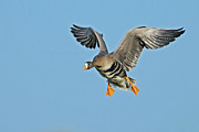 White-fronted Goose Anser Albifrons Print by Winfried Wisniewski