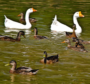 Fort Collins Metal Prints - White Geese and Ducks Metal Print by Harry Strharsky