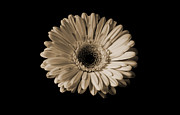 Kelly Photo Prints - White Gerbera II in Sepia Print by Aleesha D Kelly
