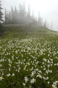 Hurricane Ridge Framed Prints - White Glacier Lily (erythronium Montanum) Framed Print by Bob Gibbons