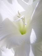 Gladiola Framed Prints - White Gladiola Flower Macro Framed Print by Jennie Marie Schell