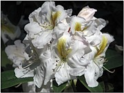 Rhododendron Photos - White Gold by Chris Anderson