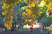 White Grape Prints - White Grapes Print by Barbara McMahon