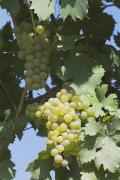 Blue Grapes Photos - White Grapes On The Vine by Michael Interisano