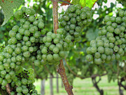 North Fork Prints - White Grapes Print by Steve Gravano