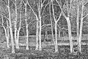 Snow Spring Prints - White Grove Print by Debra and Dave Vanderlaan