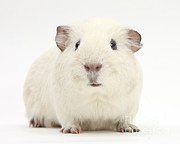 Animal Humor Posters - White Guinea Pig Poster by Mark Taylor