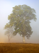 Mist Metal Prints - White Gum Dawn Metal Print by Mike  Dawson