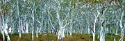Isolated Digital Art Prints - White Gum Forest Print by Phill Petrovic