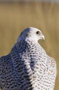 Gyrfalcon  Metal Prints - White Gyrfalcon Metal Print by John Hyde - Printscapes