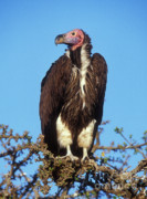 Scavengers Posters - White Headed Vulture Poster by Sandra Bronstein