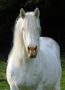 White Unicorn Photos - White Heavy horse by Angel  Tarantella