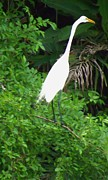 Tropical Photographs Photo Originals - White Heron Hunting by William Patterson