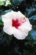 Subtle Prints - White Hibiscus Print by Bill Brennan - Printscapes