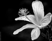White Hibiscus Black And White Print by Debbie Karnes