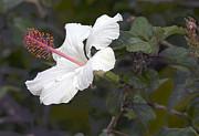 James Steele - White Hibiscus  Flower