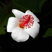 Bold Photos - White Hibiscus Flower by Rebecca Margraf