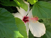 Hiding Photos - White Hibiscus Revelation by Heather Kirk